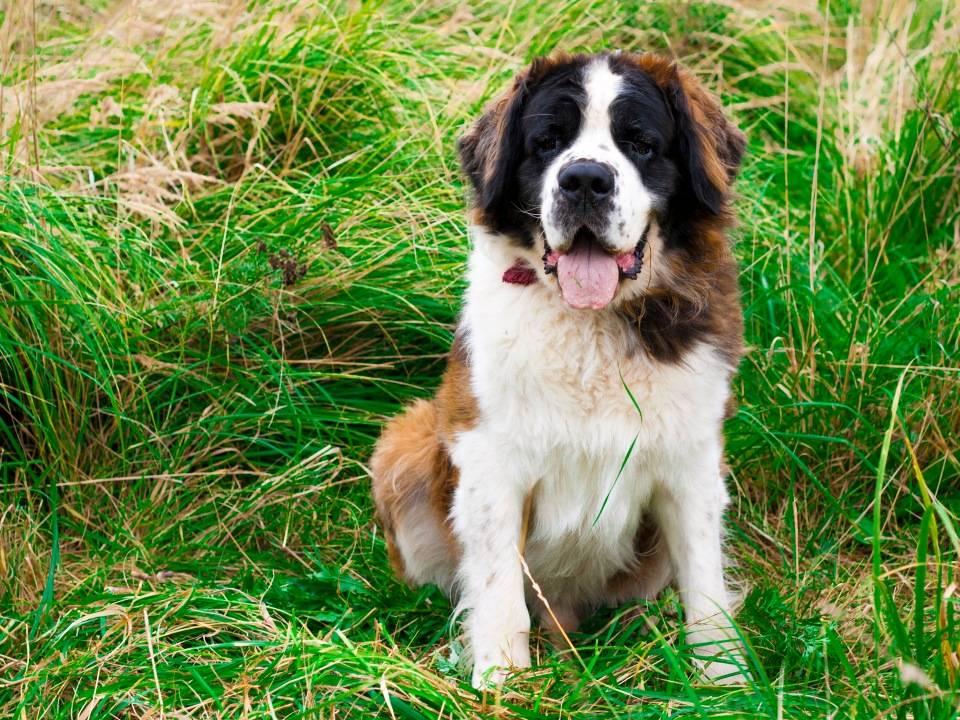 Порода собак московская сторожевая овчарка - характеристика и описание с фото