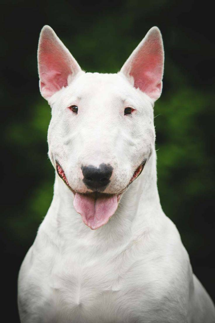 Породы собак с вытянутой мордой