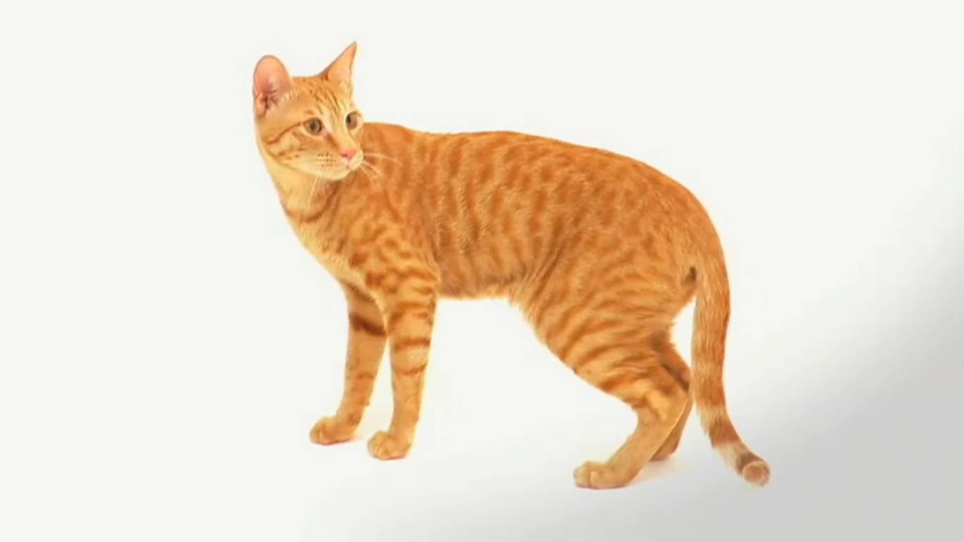 Порода кошек аравийский мау – правила ухода и содержания