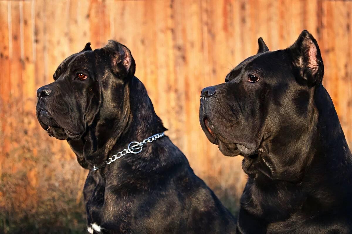 Кане корсо собака. описание, особенности, уход и цена кане корсо   sobakagav.ru