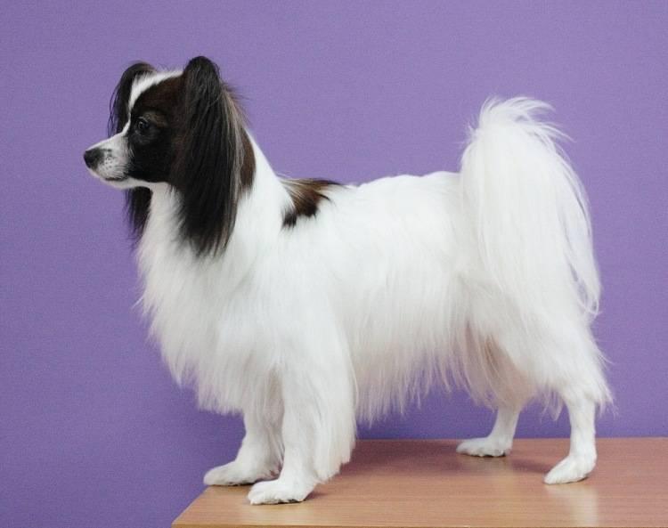Континентальный той-спаниель (папийон) — описание породы (с фото)   все о собаках