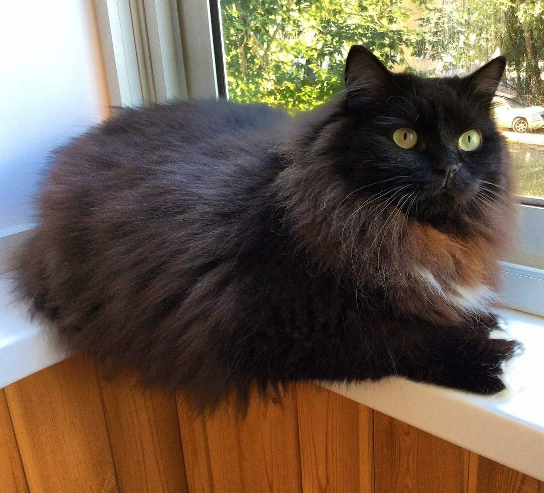 Йоркская шоколадная кошка: описание породы