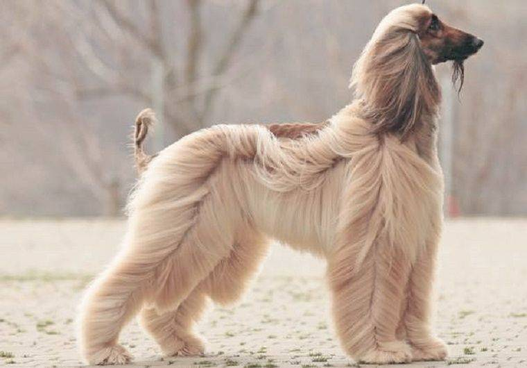 Афганская борзая: стандарт и характер породы собак