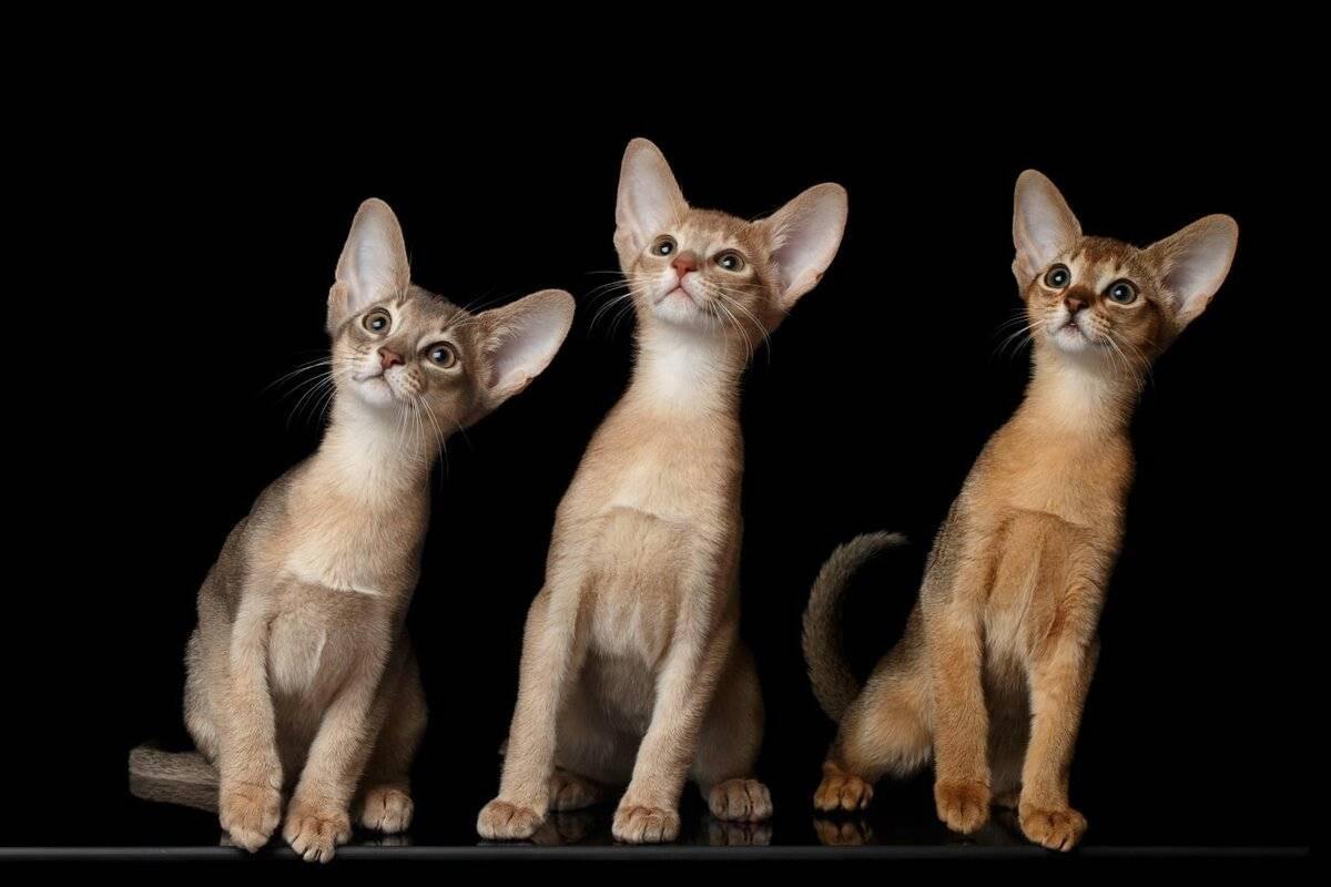 Кошки абиссинские: описание породы, характер, особенности ухода, история