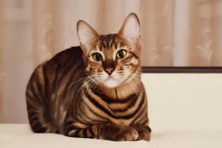 Кошка тойгер (110 фото) - описание внешности, характер, фото, цена, содержание