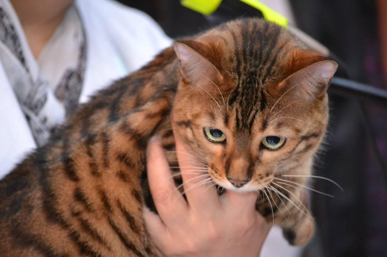 Какая порода кошек самая ласковая и ручная: для взрослых и детей