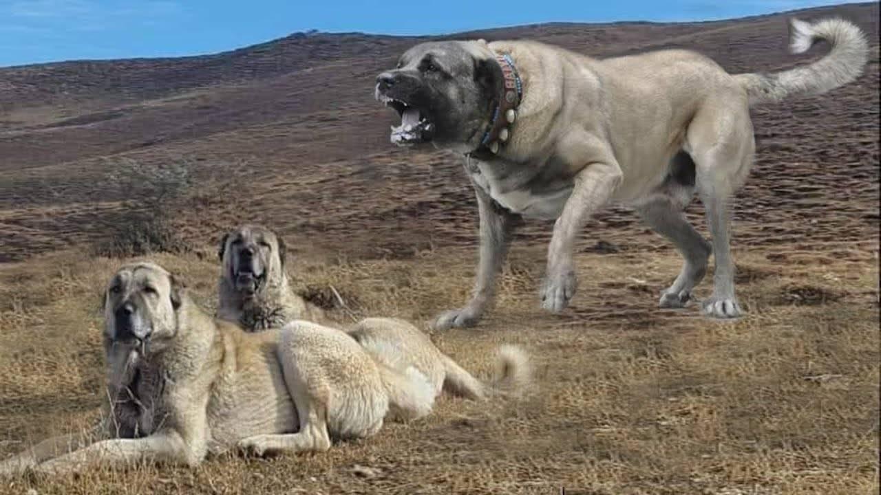 Кангал (карабаш, анатолийская собака): фото, купить, видео, цена, содержание дома