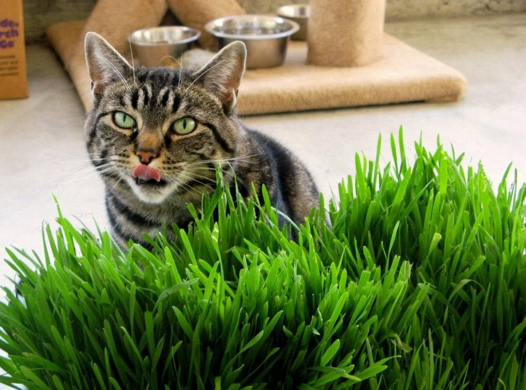 Почему кошка иногда начинает есть траву с улицы: опасно ли это для животного