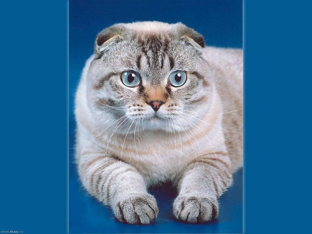 Различия между британскими и шотландскими кошками