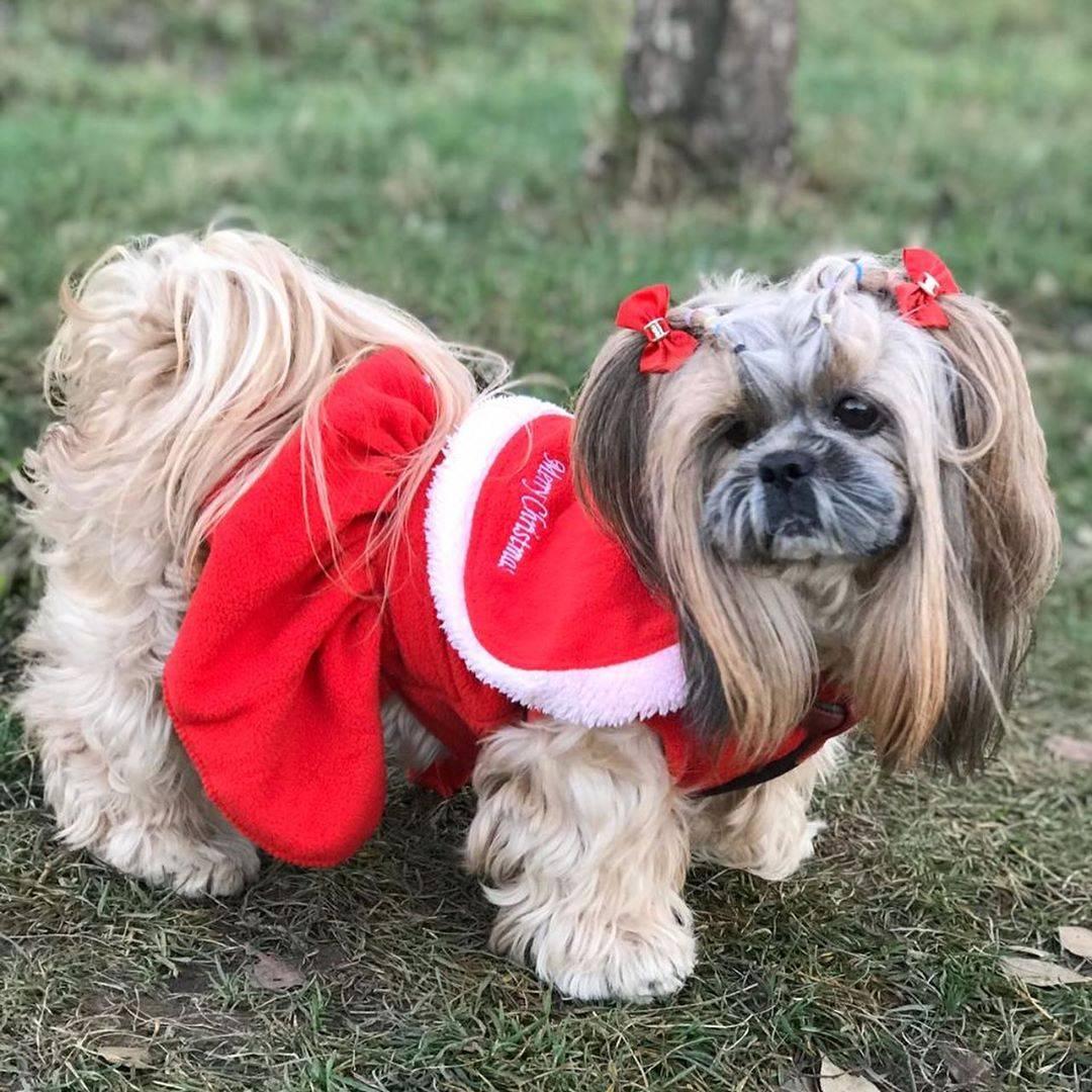 Ши-тцу: подробное описание породы собак с фото и видео