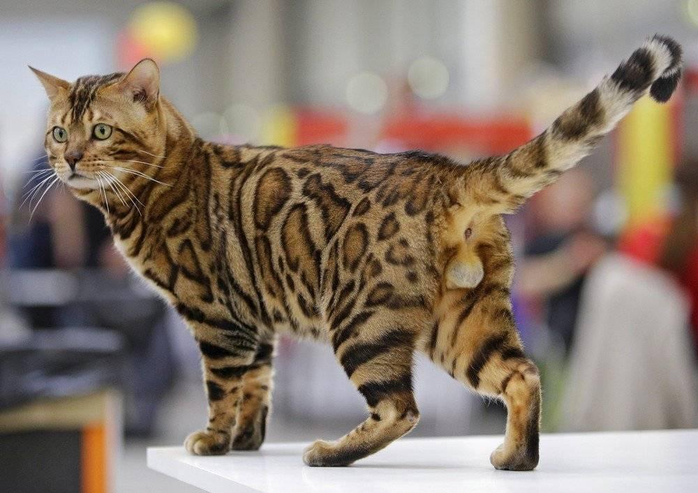 Клуб кошек pca - для любителей кошек в москве