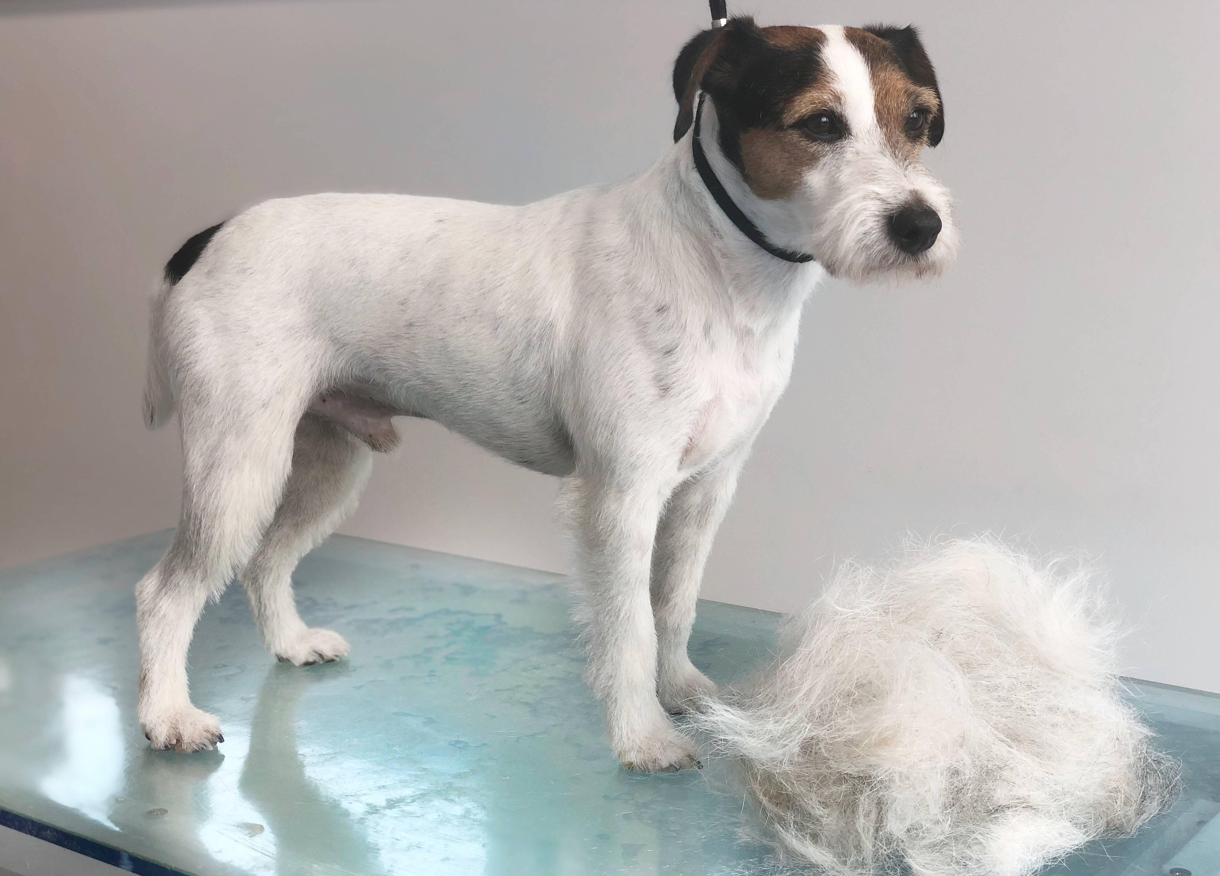 Почему желтеет шерсть у собаки