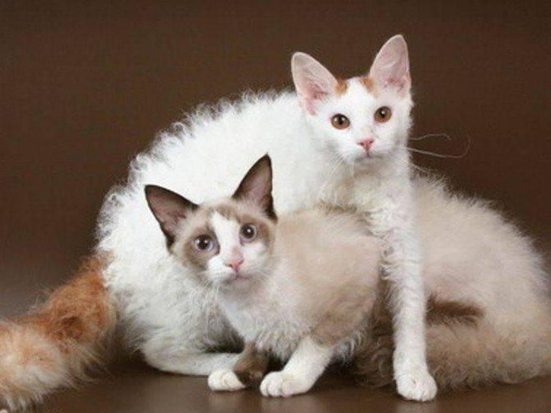 Кошка лаперм: описание породы, фото, отзывы