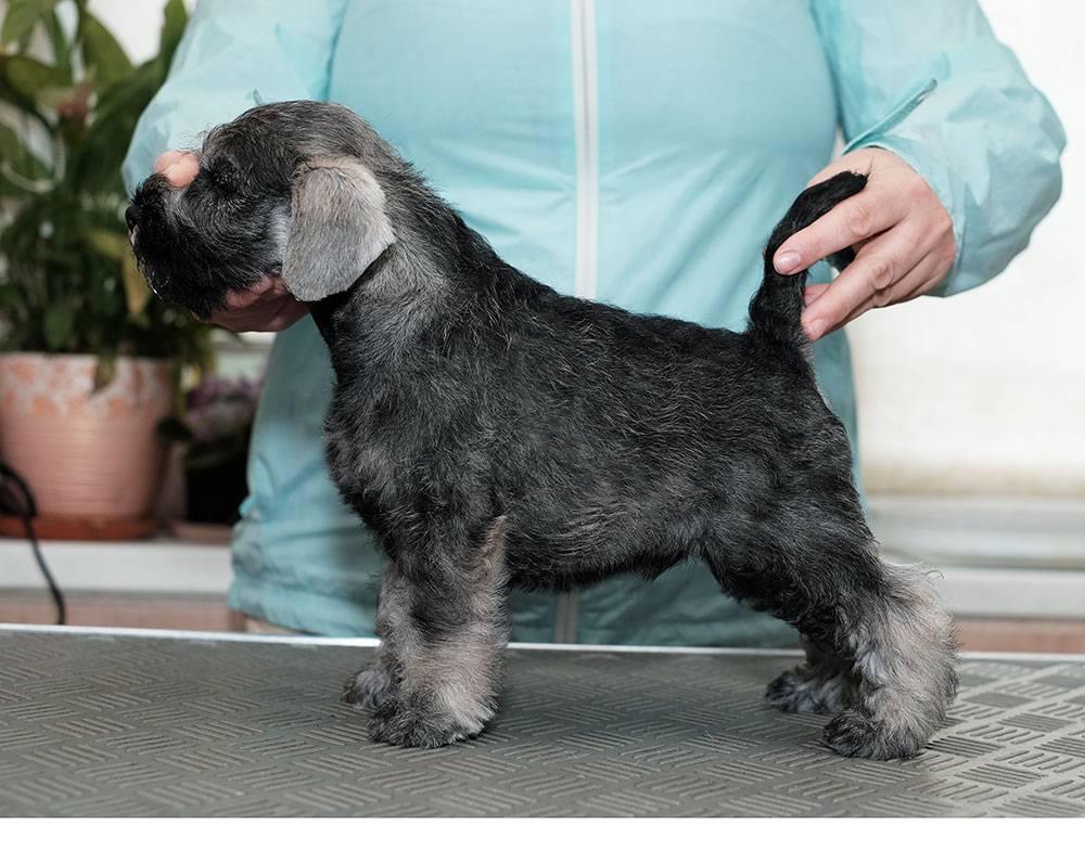 Характеристика собак породы миттельшнауцер с отзывами и фото