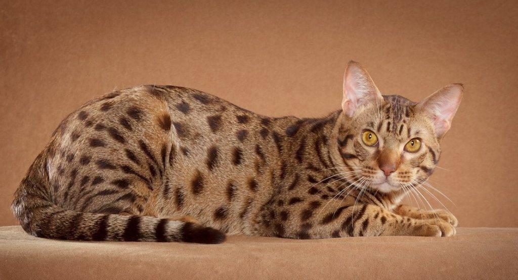 Название пород пятнистых кошек (диких и домашних) - описание и окраска, +фото