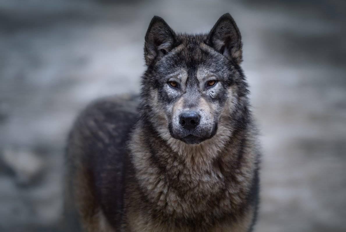 Волкособы: описание, характер, цена и фото собаки-волка
