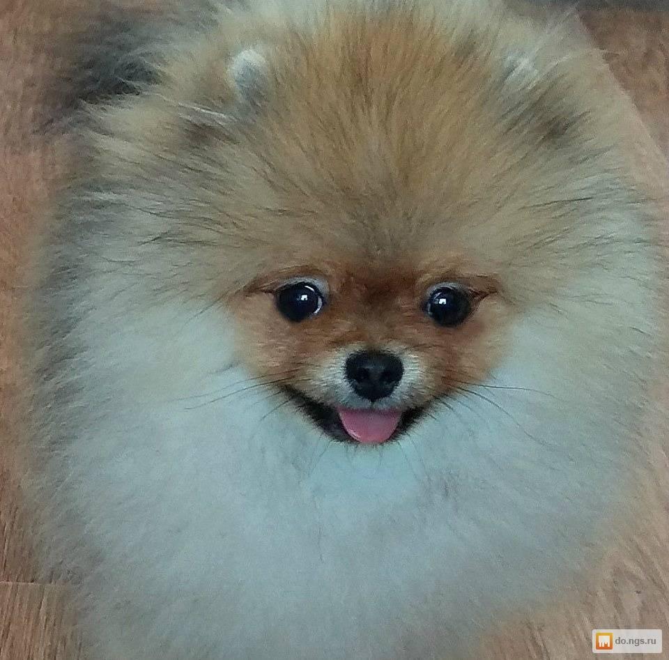 Кличка для шпица-девочки: ласковые, красивые и необычные имена для щенка-девочки. как можно назвать собаку с окрасом цвета пати колор?