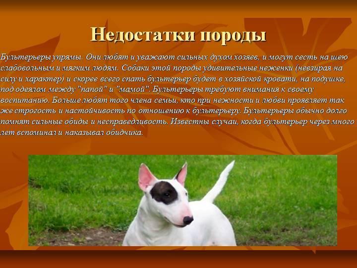 Английский бультерьер: фото, характеристика породы, характер и история собак