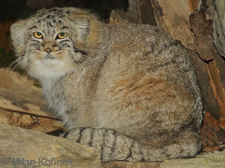 Кошки манул: описание, характер, рацион, места обитания, враги