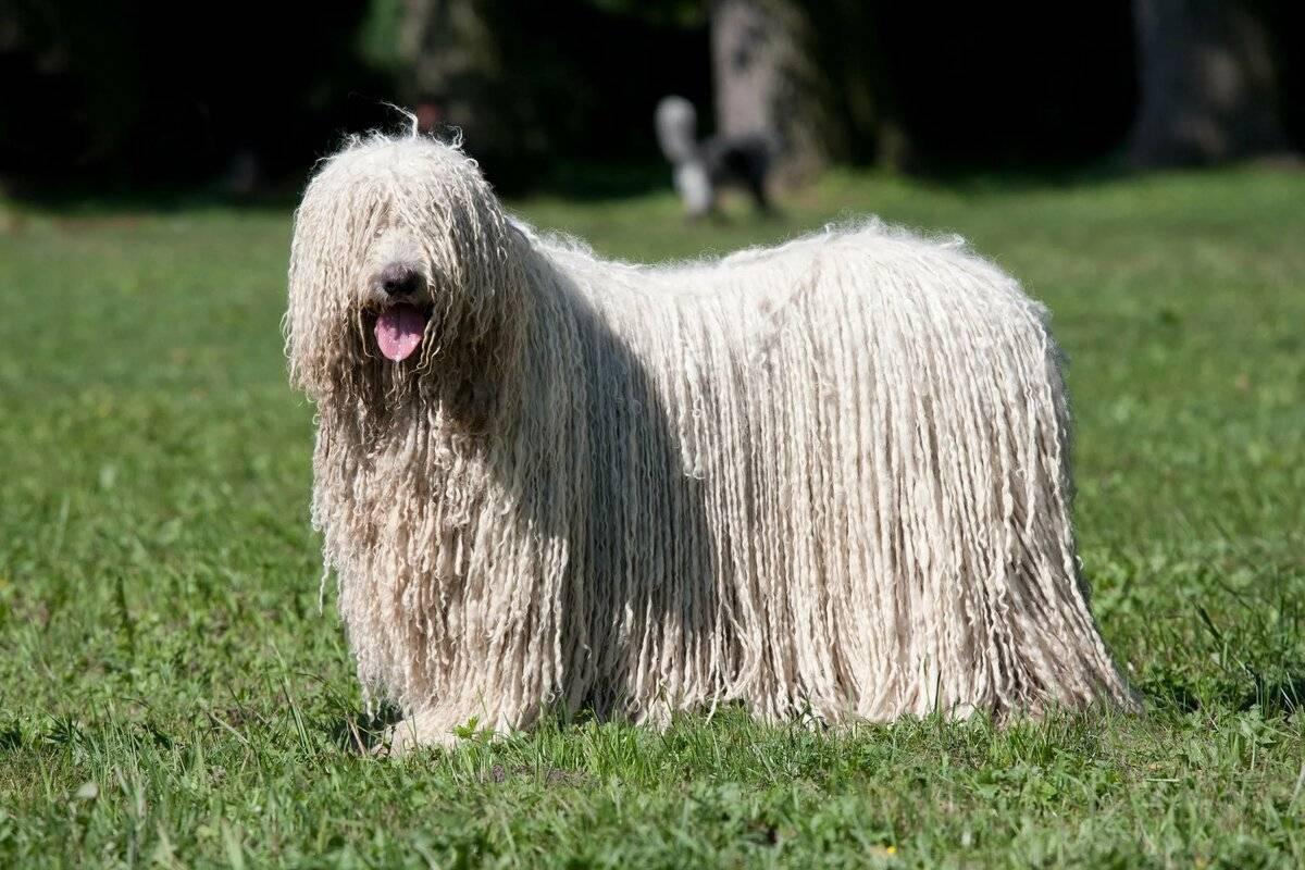 Подробное описание породы собак командор или венгерская овчарка