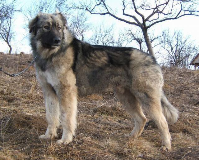Румынская карпатская овчарка — википедия