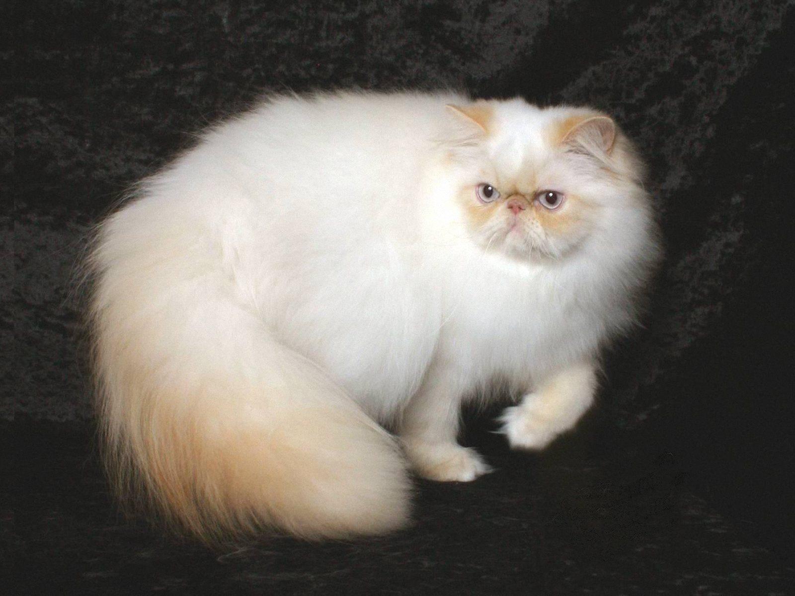 Гималайская кошка - характер, внешность, особенности породы, фото, содержание, рекомендации + отзывы