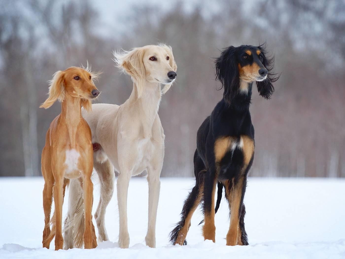 Собака, которая не умеет лаять. все о басенджи. собака, которая не умеет лаять. все о басенджи.