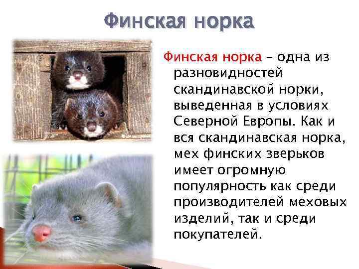 Содержание норки в домашних условиях. стоит ли заводить норку в доме? - ветеринарная клиника zoohelp