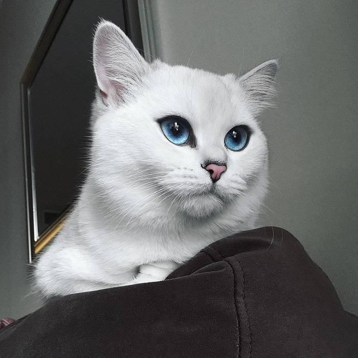 Белая кошка с голубыми глазами: породы с подробным описанием окраса, фото
