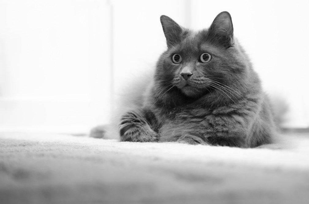 Нибелунг (nebelung) кошка: подробное описание, фото, купить, видео, цена, содержание дома