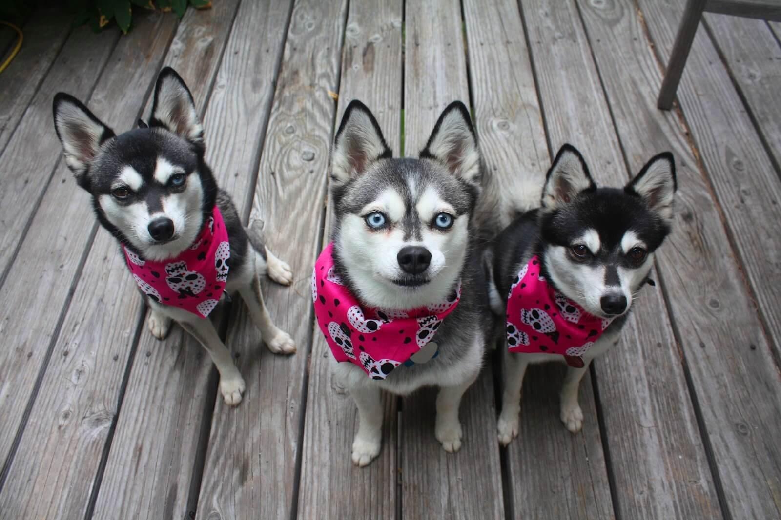 Аляскинский кли кай (мини-хаски) - все о породе от а до я + отзывы и 100 фото