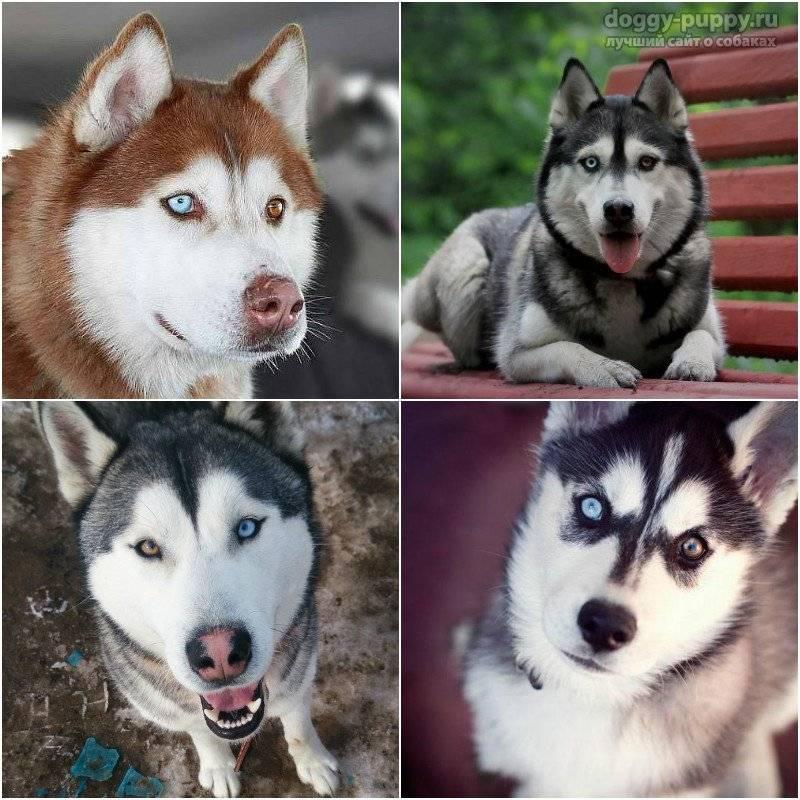 Хаски с голубыми глазами: фото щенят белого и иного окраса, а также почему бывают собаки с разным цветом радужки, карим и арлекины, какие лучше?