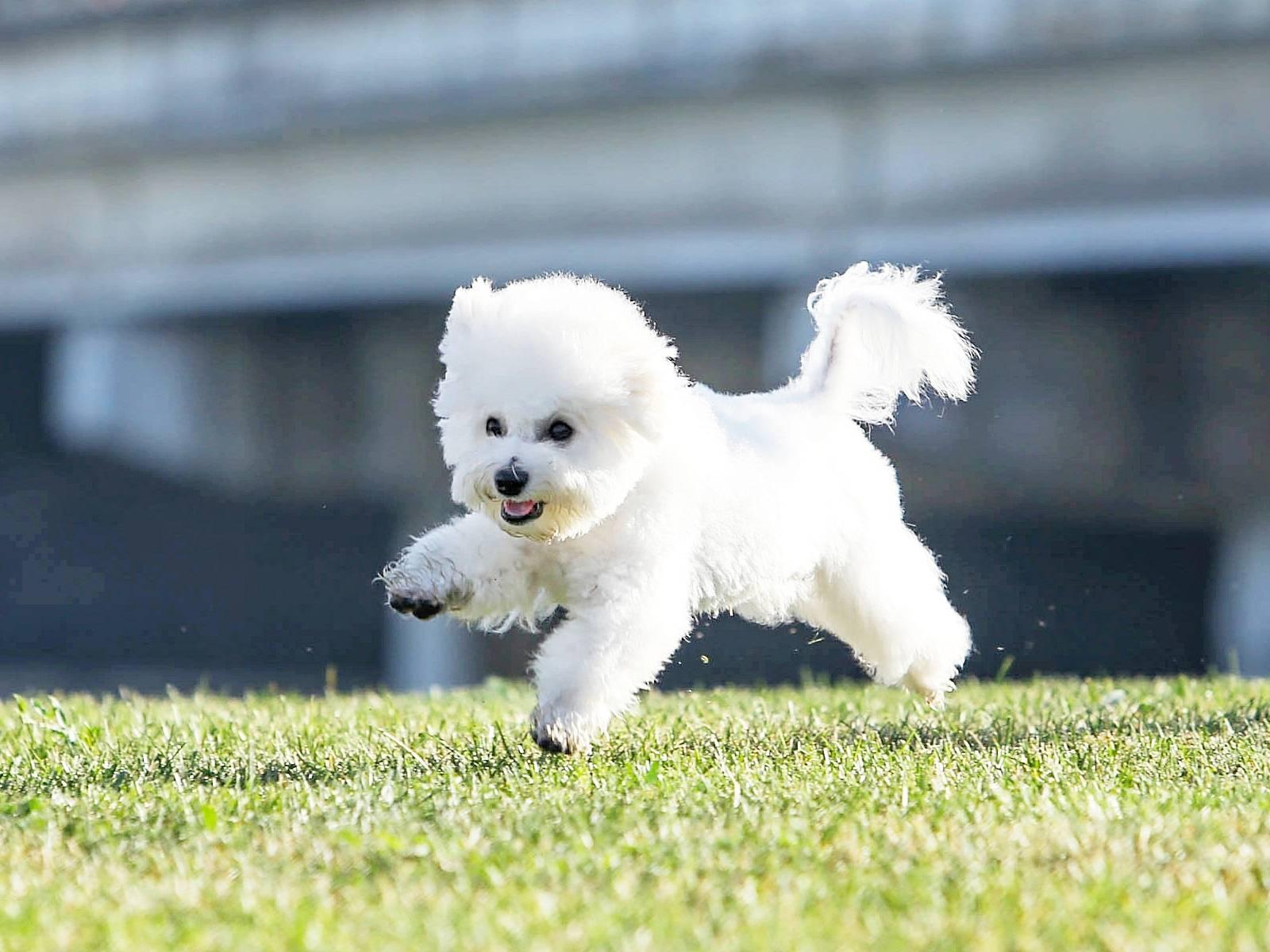 Французская болонка: фото породы бишон-фризе, характер и описание собак