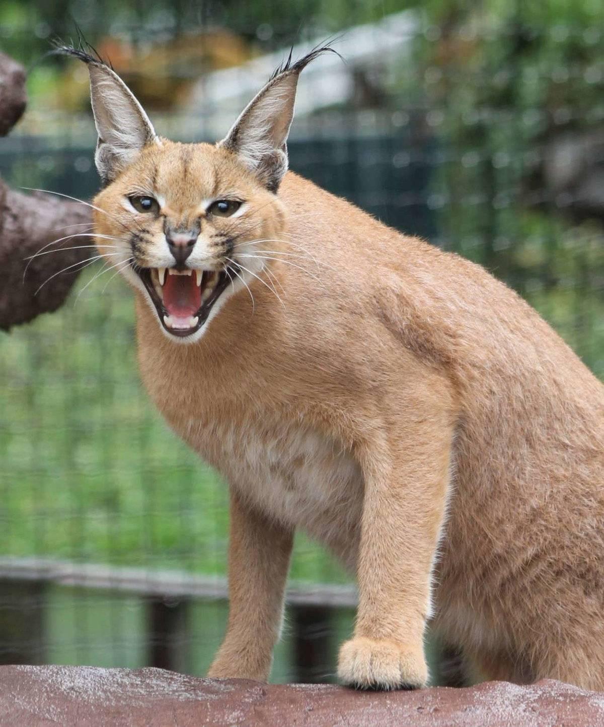 Домашняя кошка пума: фото, видео, описание породы