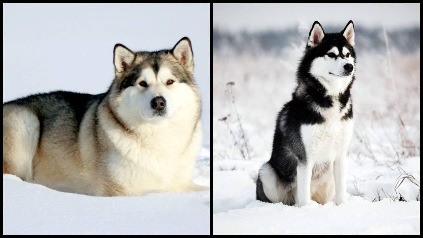 Породы собак, напоминающие хаски и их отличия