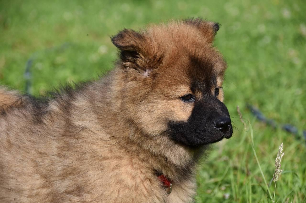 Шипперке: все о собаке, фото, описание породы, характер, цена