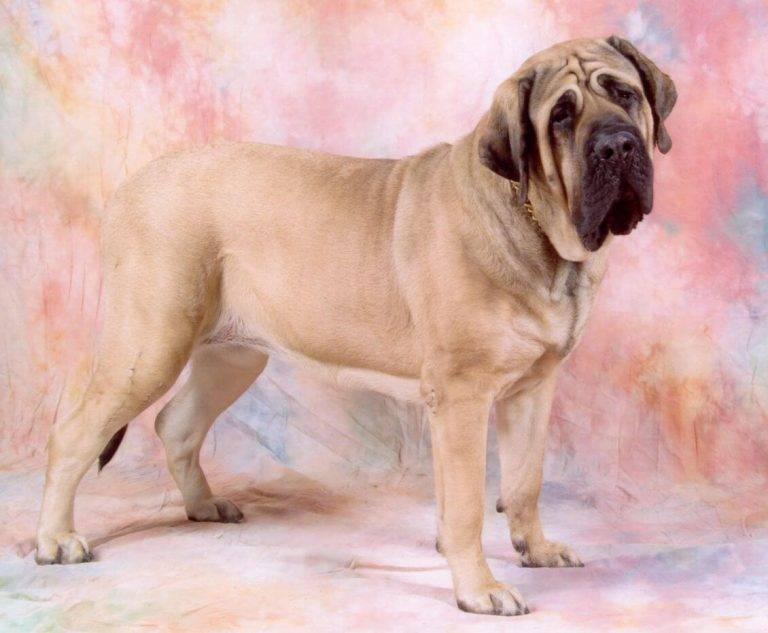 Неаполитанский мастиф: описание породы, характер собаки и щенка, фото, цена
