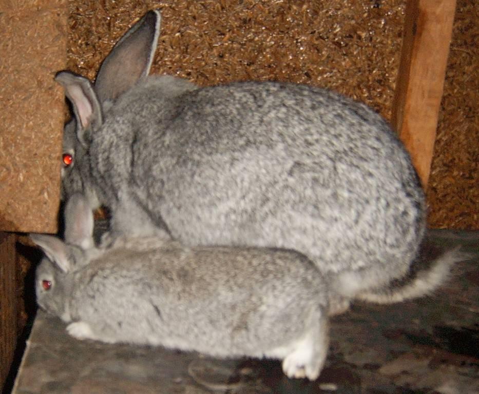 Подробная характеристика породы красных и белых новозеландских кроликов