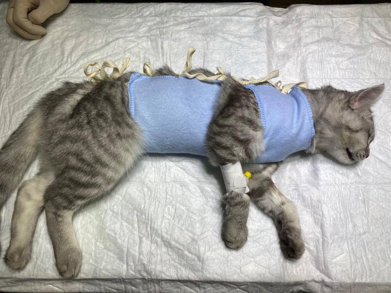 Кастрация тайских и сиамских котов