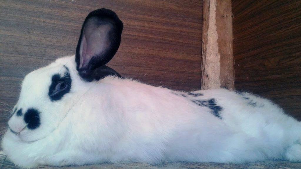 Кролик бабочка: описание и характеристика породы