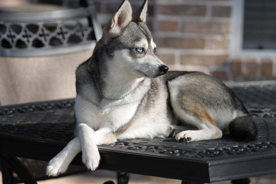 Аляскинский кли кай собака. описание, уход и цена породы аляскинский кли-кай