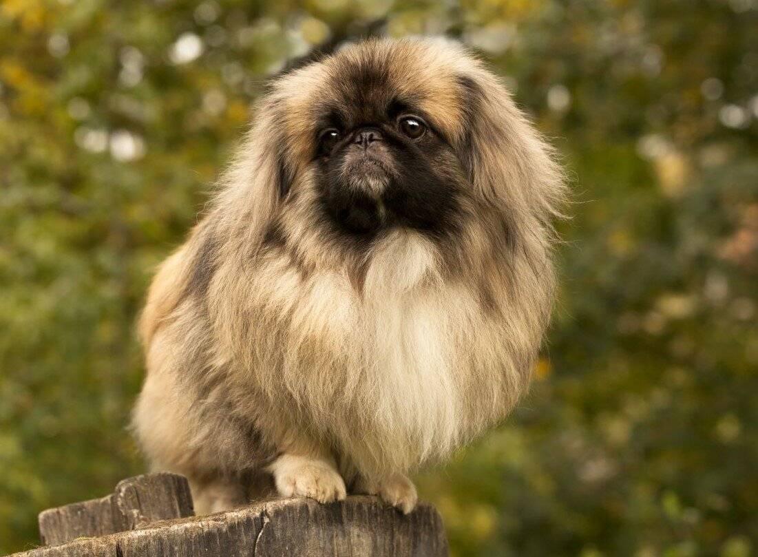 Королевский пекинес (23 фото): описание породы, особенности ухода за взрослой собакой и щенком