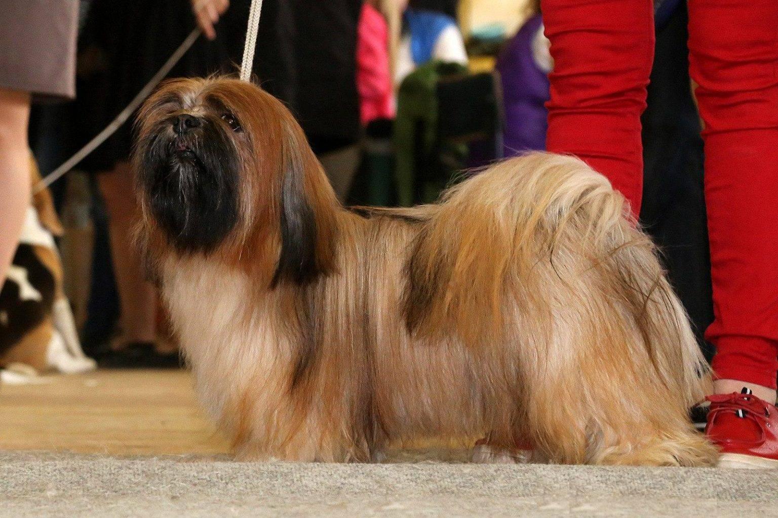 Лхаса апсо — священная собака из тибета лхаса апсо — священная собака из тибета