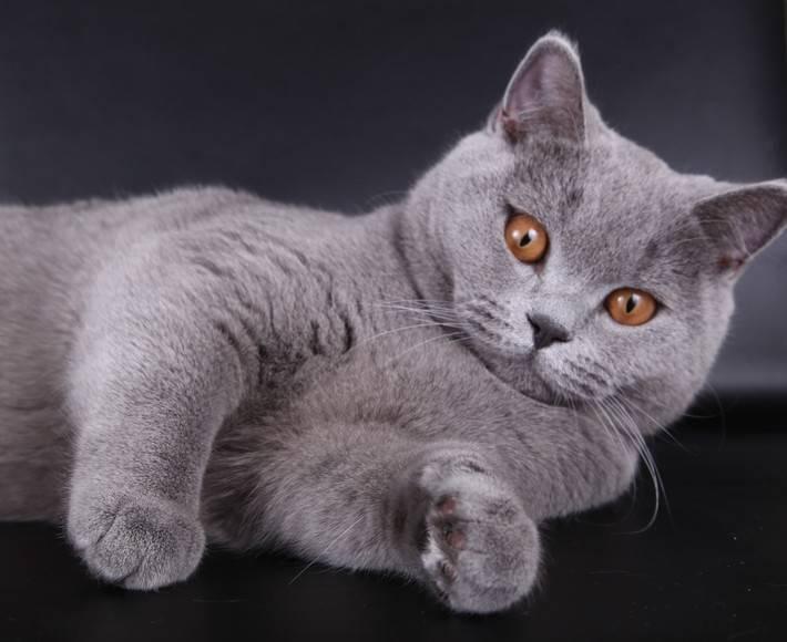 Британская кошка: описание, чем отличается, чем кормить, содержание