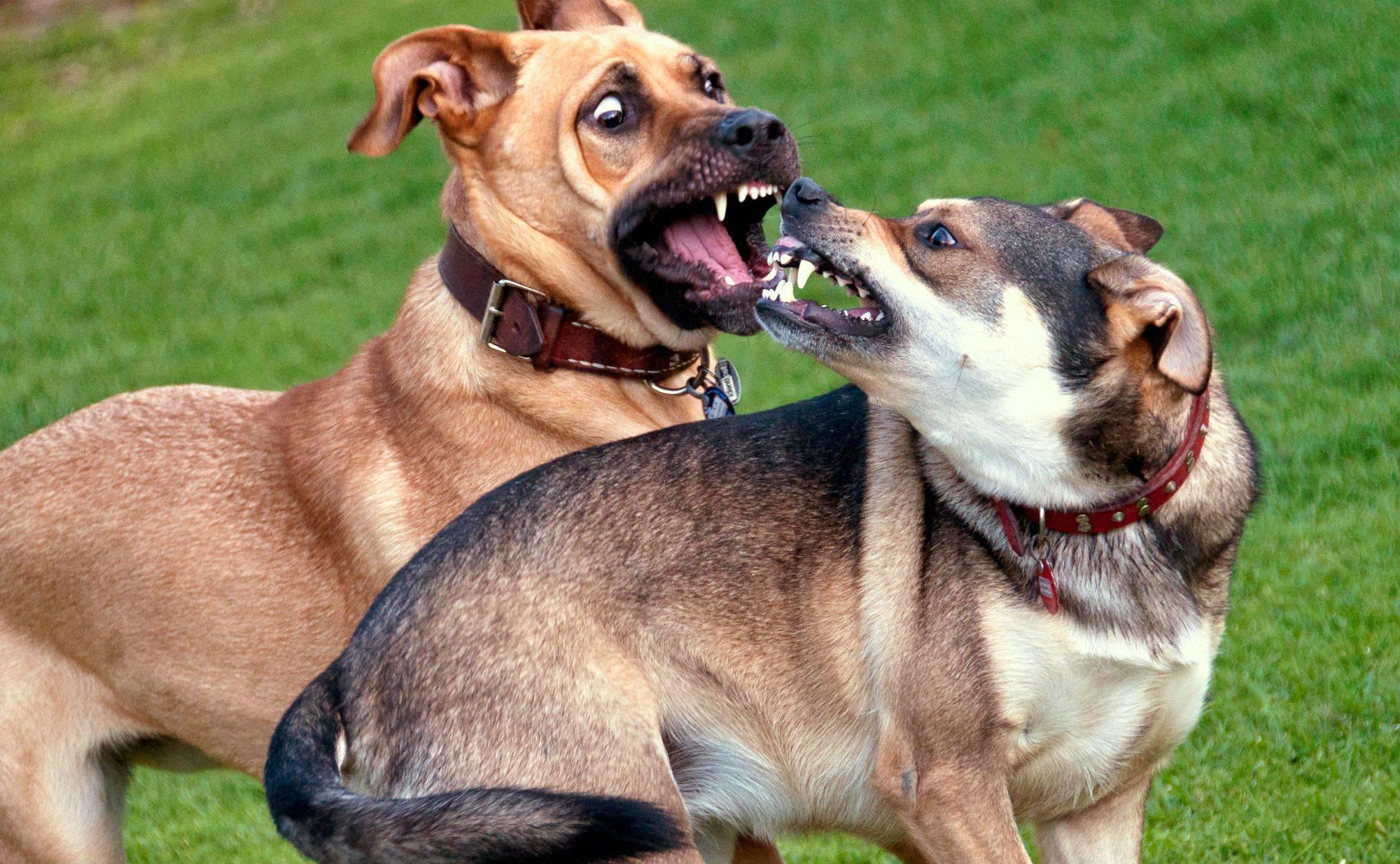 Рычание собаки: что делать, если она начала рычать на хозяина, когда ее гладят? причины рычания щенков в пустоту или во время игры