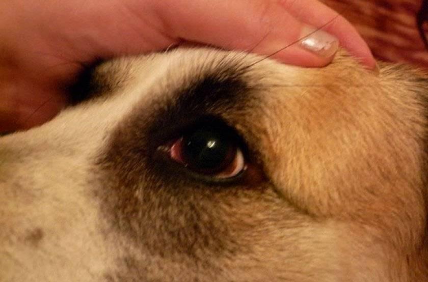 Хирургическое лечение дирофиляриоза у собак