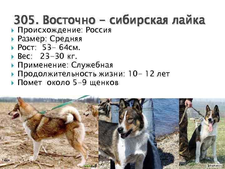 Сколько лет живут лайки и как увеличить жизнь собаки?