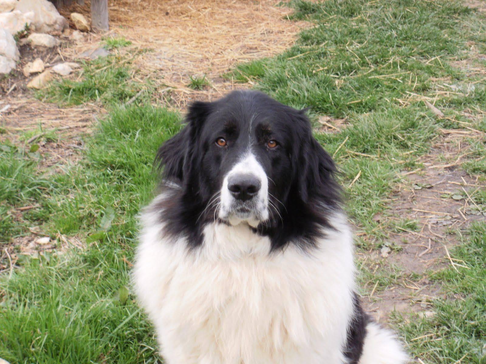 Болгарская овчарка (каракачанская собака): описание породы с фото и видео