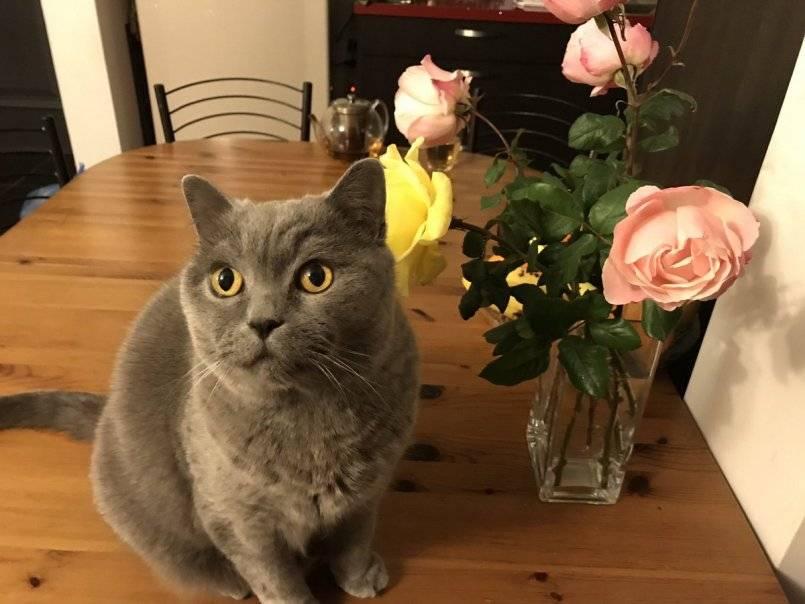 «кот развязан» – что это значит, в каком возрасте можно кошку сводить с самцом первый раз, как происходит вязка?