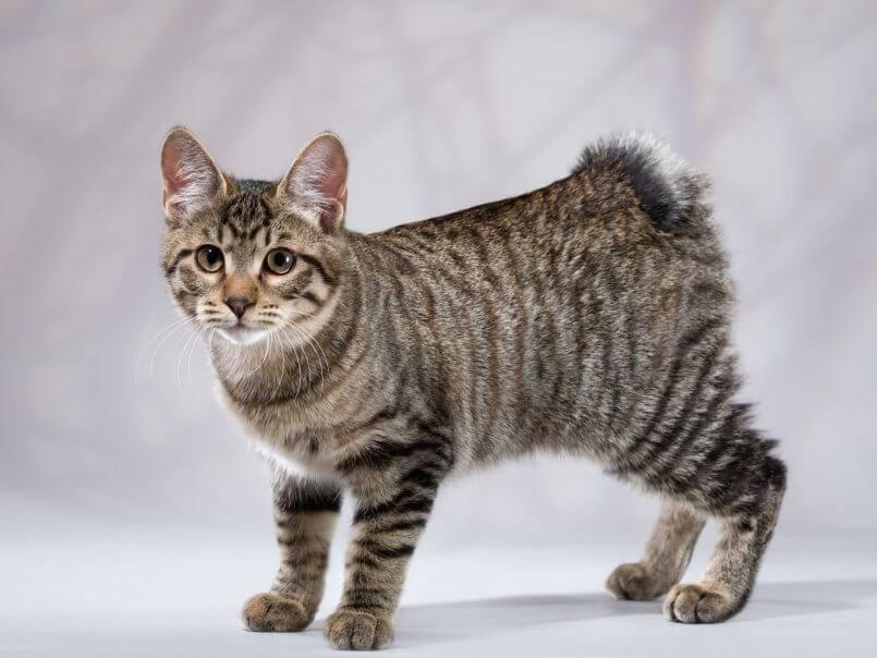 Бесхвостые кошки (43 фото): названия популярных пород котов. особенности их содержания